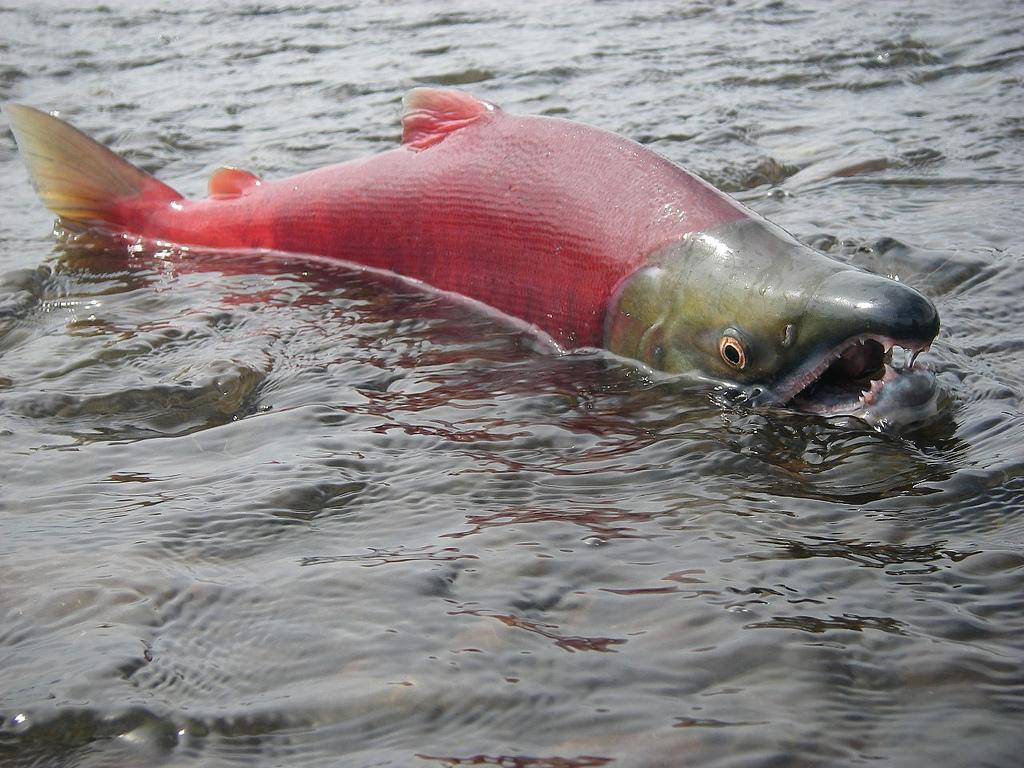 Red salmon fish - photo#38
